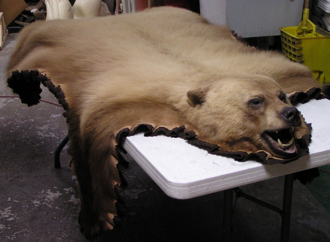 Blonde Black Bear Rug Alaska Precision Taxidermy